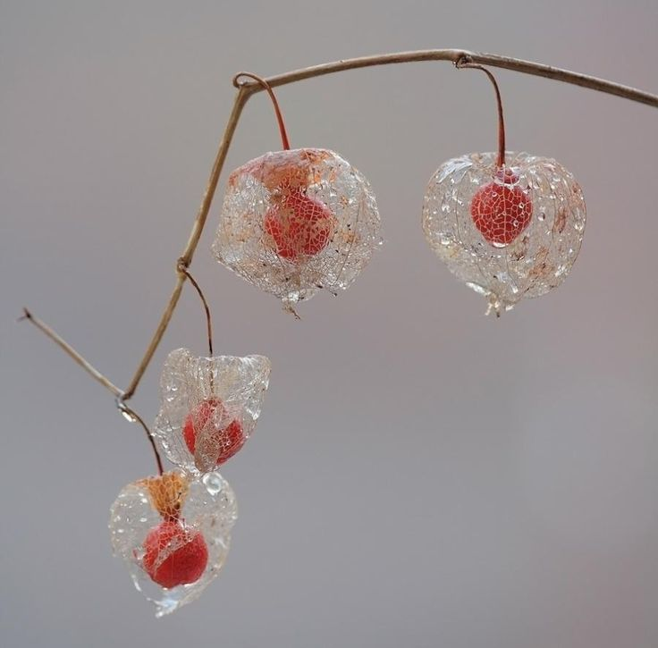 """""""Fairy Lanterns"""" - Physalis"""