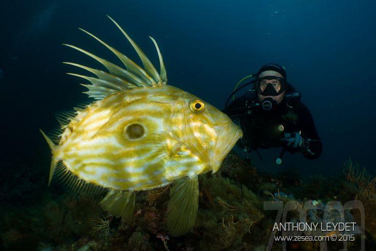 Pour ce 3ème Instaquatic, je vous parle d'une belle rencontre avec des Saint-Pierre, certainement un des plus beaux poissons de Méditerranée !