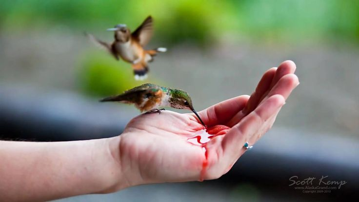 Hand feeding Hummingbirds, I LIVED IN ALASKA FOR 20 YRS, AND I LOVED SEEING THESE, BUT NEVER THIS MANY , THIS IS AMAZING, WHAT A LOVELY THING TO DO,