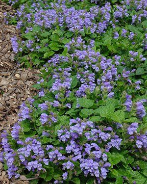 Meehania Cordata Creeping Mint Looking For A Native Subsute Ajuga Or Lavender Flowersblue