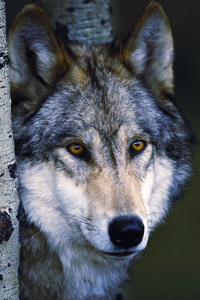 579 best Animals-Wild Canine #7 images on Pinterest   Wild ...
