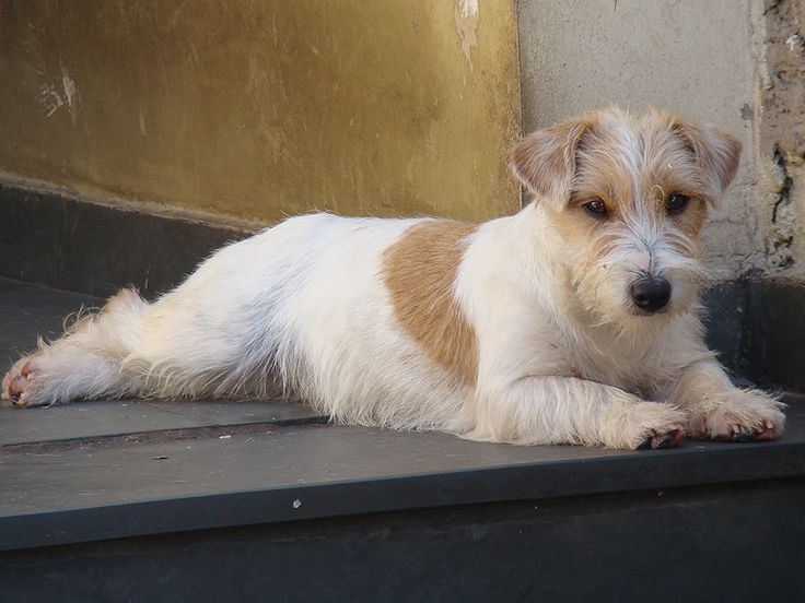 Canil Hunter Dream - Jack Russell Terrier Jackland Princesa Maia