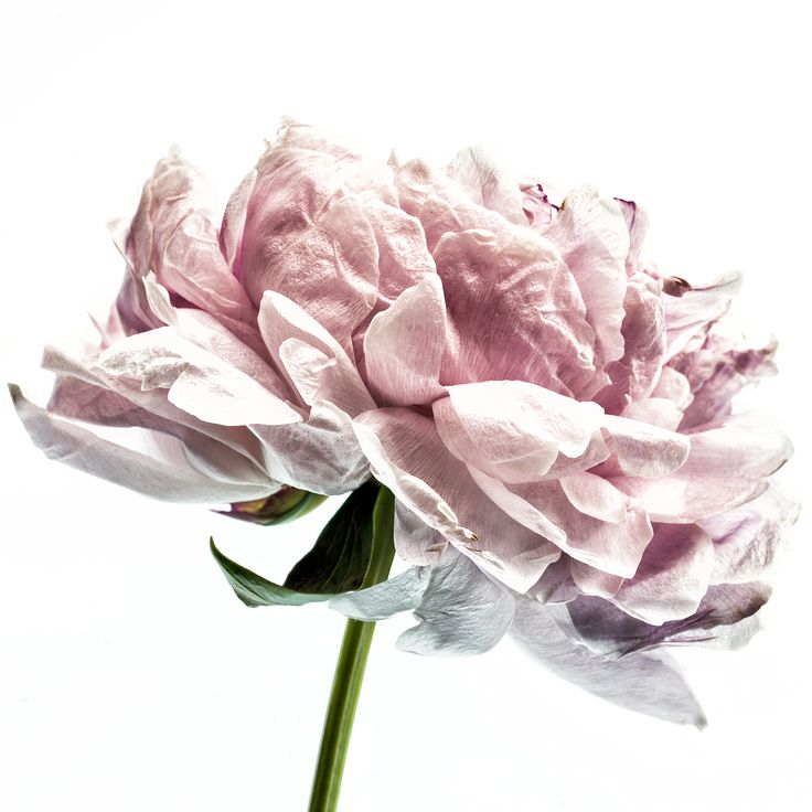 Pretty peony artwork from a mixed bouquet. The perfect artwork to remember a beautiful bouquet. Floragraphica | Modern bouquet preservation with photography