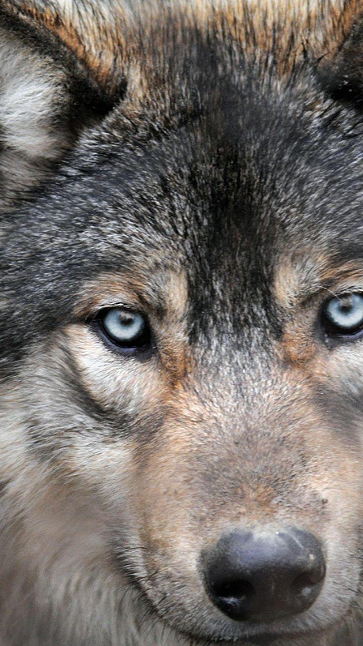 цвет волчьих глаз фото или быть