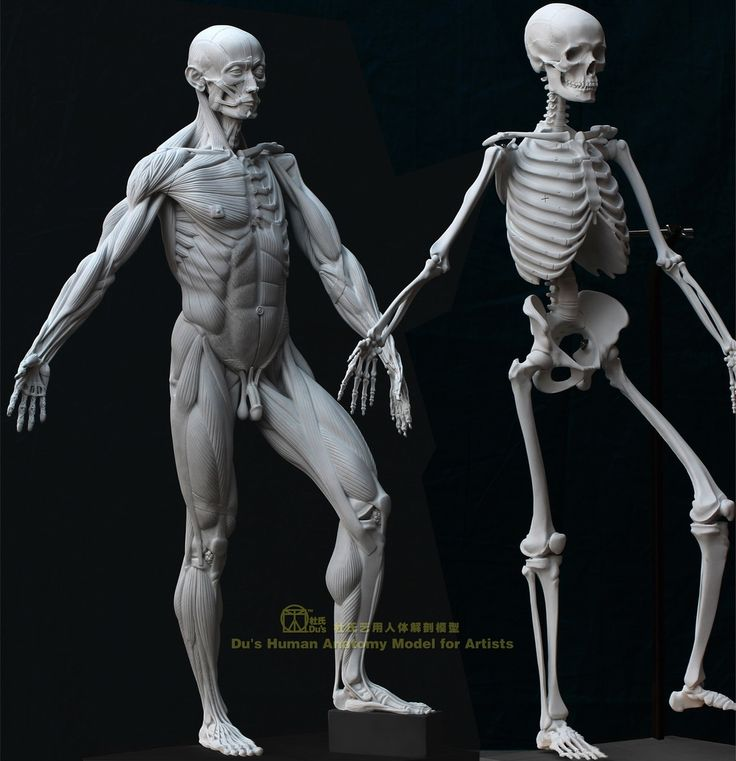 Pin by Alex Castillo on ecorcheFIGURE | Pinterest | Anatomy and 3d