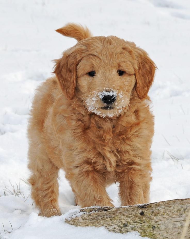 Goldendoodle puppies cute pinterest