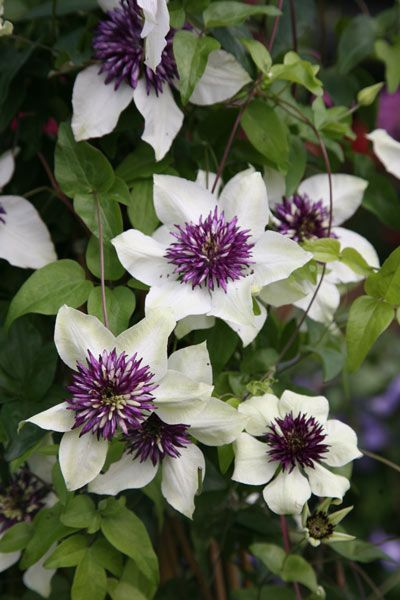 21 Best Scented Climbers And Ramblers Images On Pinterest