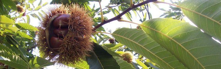 Chestnut Blight Info - Chestnuts Australia