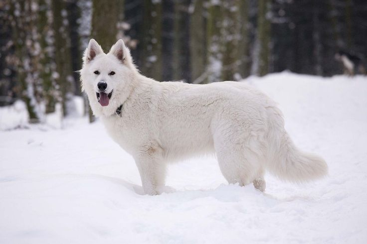 Is the White Swiss Shepherd Fearful?