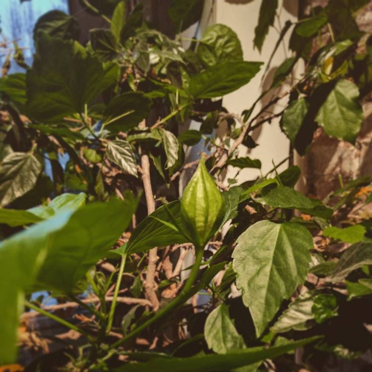 Do you see that?!? Spring is coming I swear people. #hibiscus #hibiscusflower  #hibiscusplant #springflowers #spring #tropical #tropicalplants #backyardoasis #backyard #backyardoasis #
