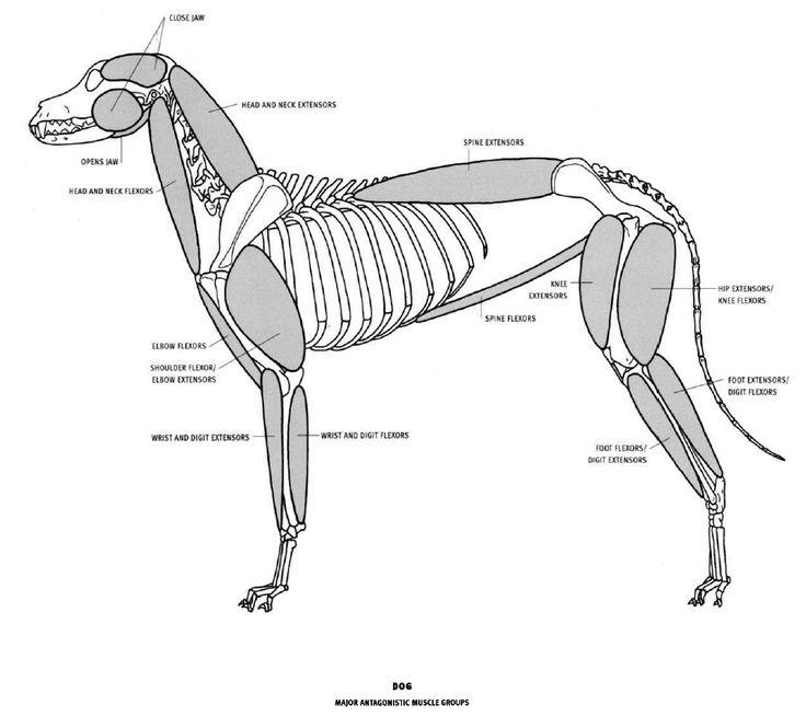 Fantástico Dibujo De La Anatomía Del Perro Adorno - Imágenes de ...