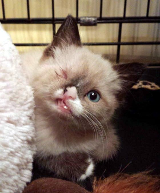 """Meet Sir Stuffington, an one eyed kitty who survived a raccoon attack and was saved by a kind person along with his 2 brothers. """"His feral litter was attacked by a raccoon, mom and one baby didn't make it,"""" said his foster mom.  When he was turned into Multnomah County Animal Services, they discover..."""