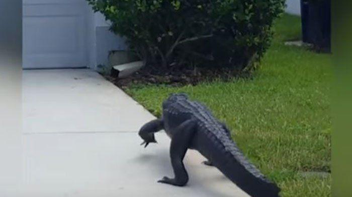Mencengangkan! Aligator Buas dengan Santai Melenggang di Perumahan Warga, Ini Penampakannya