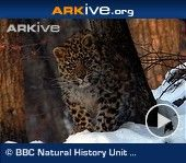 The Amur leopard (Panthera pardus orientalis) is considered to be one of the most critically endangered big cats in the world, with just 35 remaining in the wild, all in the Russian Far East (3). It is one of ten living subspecies of leopard (according to the most recent genetic study) but it is especially distinctive due to a particularly pale coat compared to most other subspecies, and dark rosettes which are large and widely spaced with thick, unbroken rings.