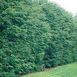 Canadian Hemlock    Elegant and Effective Hedging        Comes in thick and dense, the ultimate in privacy screening. Looks terrific planted as a property line border. Vigorous and adaptable evergreen, with luxurious bright green needles that stay soft despite heavy pruning. Fast growing to 40-70 ft. with an impressive 25- to 35-ft. spread. Plant 3-5 ft. apart. Does best in full sun. Bareroot. Zones 3-7. Perfect for our backyard!