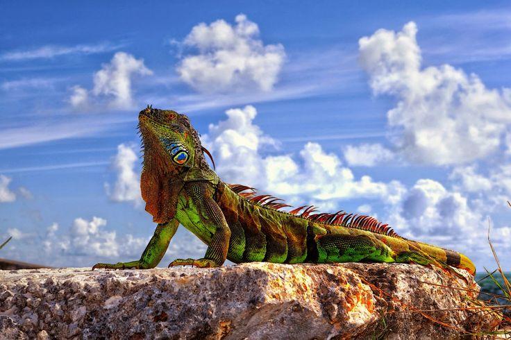 gambar iguana nama hewan dari huruf I
