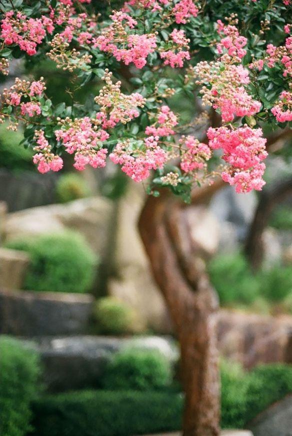 百日紅(백일홍) 誰もが掘り出すのを諦めた樹齢二百年にもなる美しい二株の百日紅。難しいと思ってただ諦めるのではなく、実践・挑戦してみることの大切さを教えてくれる経緯の深い木。 ほとんどの木は春に花が咲き、夏には新緑が生い … Continue reading