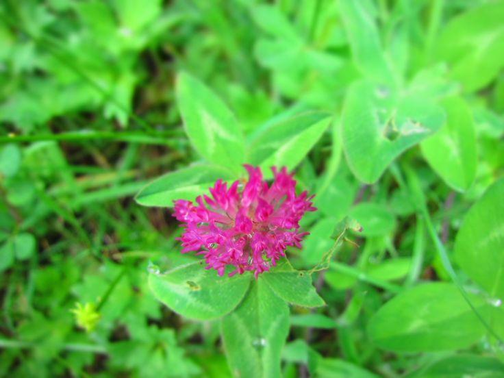 Trifolium pratense... en Rancho Vaitea