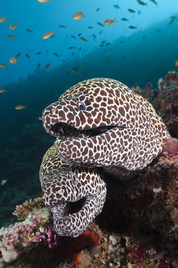2 Male Honeycomb Moray Eels ...........click here to find out more http://googydog.com