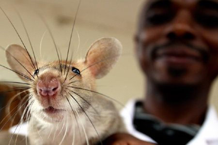 {could giant rats eliminate land mines?}