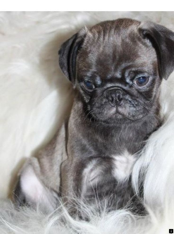 Learn More About Pug Dog Breed Just Click On The Link For More