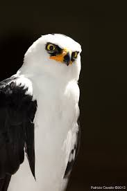 Aguila Viuda