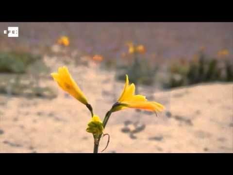 Increíble floración del desierto de Atacama a causa de las lluvias de El Niño - http://dominiomundial.com/floracion-desierto-de-atacama/?utm_source=PN&utm_medium=Pinterest+dominiomundial&utm_campaign=SNAP%2BIncre%C3%ADble+floraci%C3%B3n+del+desierto+de+Atacama+a+causa+de+las+lluvias+de+El+Ni%C3%B1o