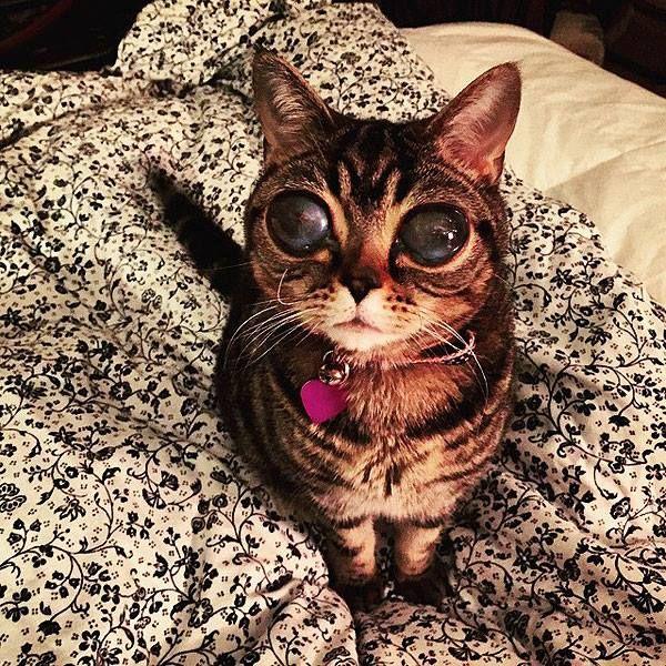 """Essa simpática gatinha se chama Matilda e sofre de uma doença rara chamada de """"Luxação de lente"""". Tal doença causa a ruptura das fibras…"""