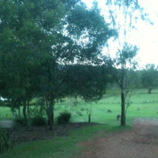 Kangaroos grazing at Lake Cressbrook.