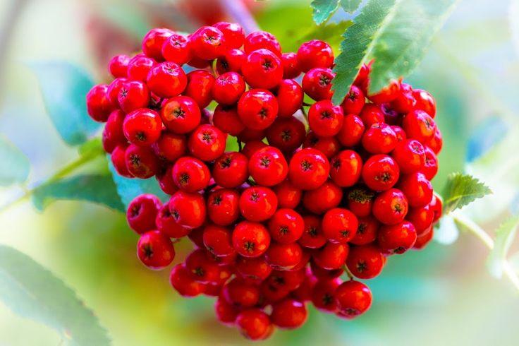 Rowan-berry, by Heikki Rantala