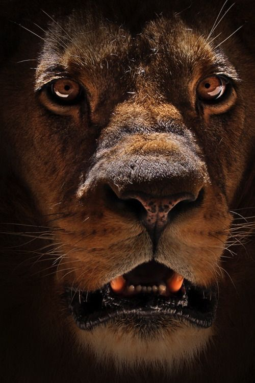 Le lion (Panthera leo) est une espèce de mammifères carnivores... La femelle du lion est la lionne, son petit est le lionceau. Le mâle adulte... accuse une masse... allant de 180 kg... à 230 kg... Certains... très rares 250 kg. Un mâle adulte se nourrit de 7 kg de viande chaque jour contre 5 kg chez la femelle... Son espérance de vie, à l'état sauvage, est comprise entre 7 et 12 ans pour le mâle et 14 à 20 ans pour la femelle, mais il dépasse fréquemment les 30 ans en captivité. Cf…