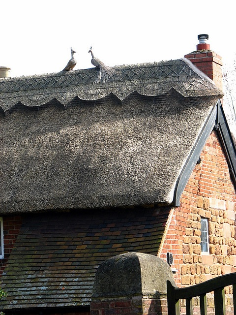 Close-up of a thatched roof.  Amazing craftsmanship. Pheasants are great.