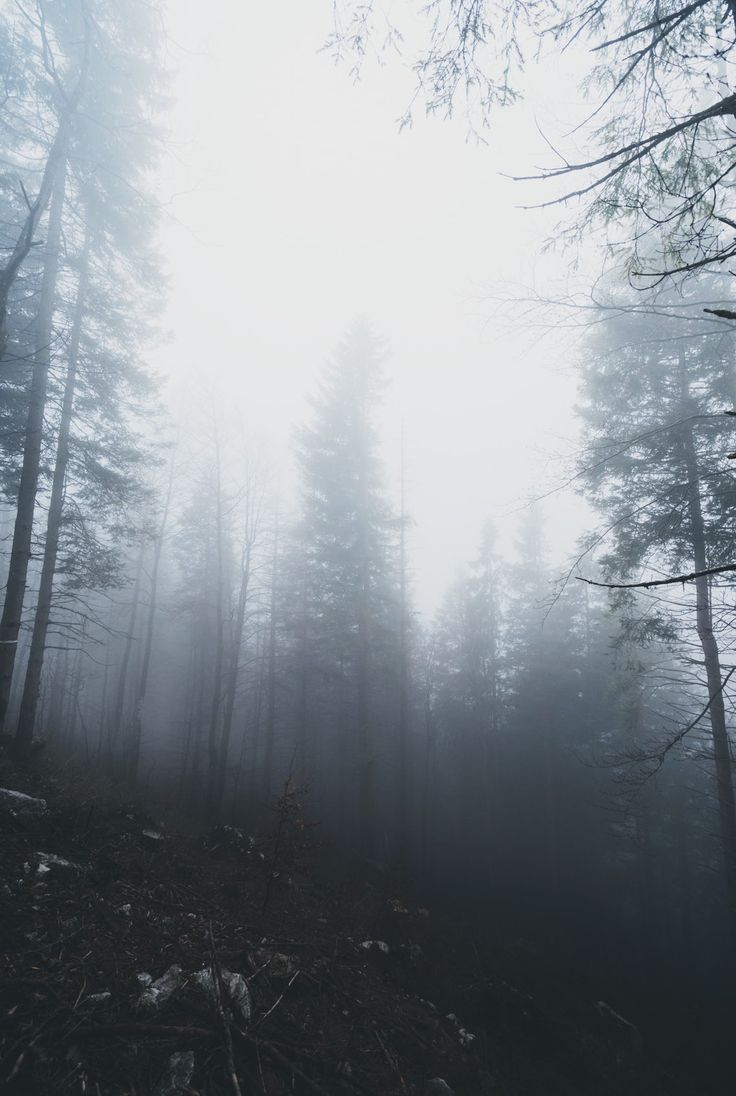 Tall coniferous trees in a fog on a slope