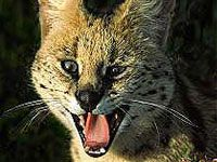 Serval - Warthog Lodge