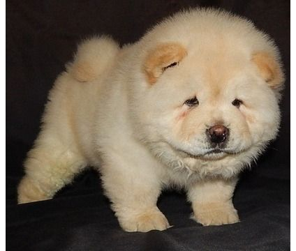 EDFR!M/F Chow Chow Puppies For Sale   Chow Chow Puppy For Sale in ...