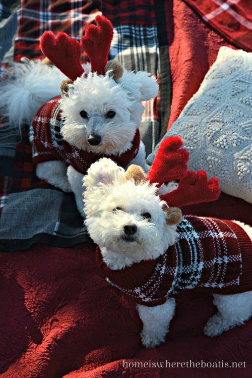 Beautiful Bichon Reindogs from homeiswheretheboatis.net