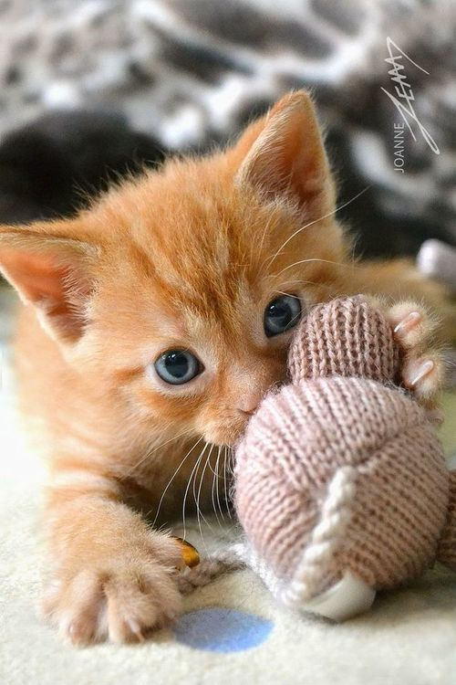 kitten playing with a ball of yarn http://www.mainecoonguide.com/male-vs-female-maine-coons/