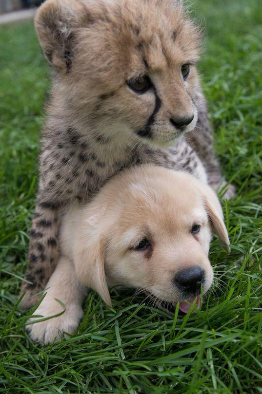 エメットは、肺炎の治療を受けていた数週間、人の手で育てられた。動物園のFacebookによると、カレンは「コンパニオンパピー(付き添いの子犬)」として、エメットに引き合わされた。 | チーターとわんこは一緒に育つ。2匹は仲良し チーターのエメットと、コンパニオンパピーのカレン。