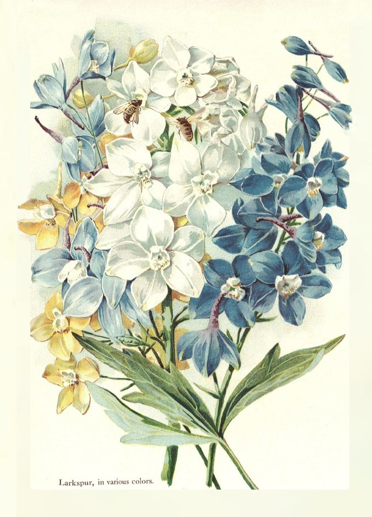 larkspur bontanical print. July birth flower. I like this look for a tattoo