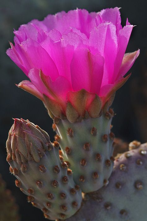 ✯ Beaver Tail Prickly Pear