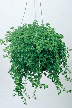 ENGLISH BABY TEARS  Pilea depressa  Height:	cascading  Foliage:	Tiny, round lime green leaves that cascade.  Soil:	Water once the soil becomes dry to the touch.  Additional Information:  This delicate leaved, creeping plant is wonderful in dish gardens or hanging baskets. Grows well in bright indirect light. Keep temperatures above 55 degrees F.