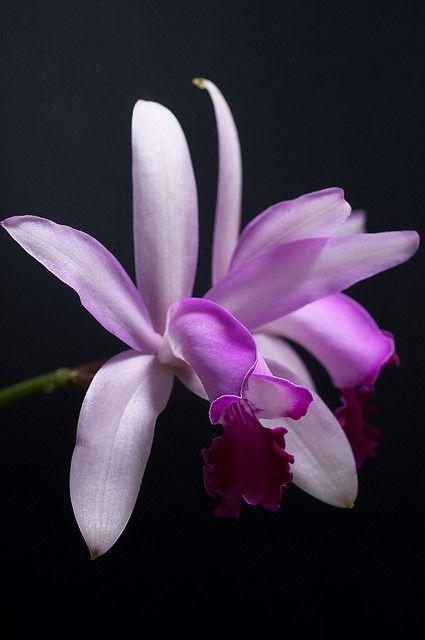 Orchid Cattleya intermedia