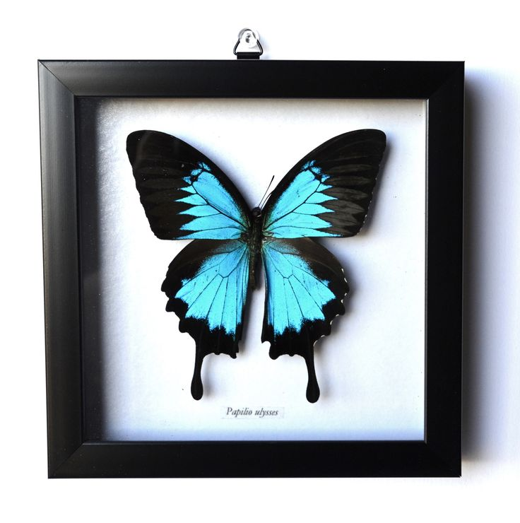 """Blue Mountain Butterfly. Papilio Ulysses butterfly typically has a wingspan of about 5.5"""" , but depending on subspecies has some variations in size. The upper side of the wings are an iridescent elect"""