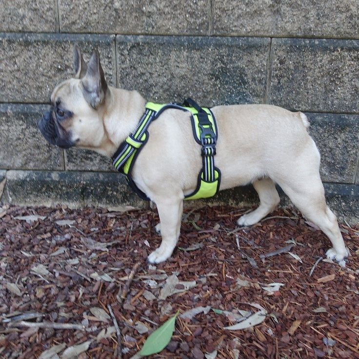 What's over there? Toby the French Bulldog #tobychews