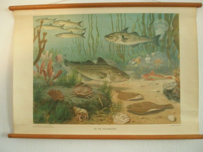 Schoolkaart In de Noordzee van M.A.Koekkoek zie namen van vissen en planten  Is een rolkaart op linnen afm. stokmaat HXB 72x103 cm.Prachtige kaart uit de serie van 12 platen binnenland en deze kaart is in een goede conditie.OP deze leerzame kaart aanwezig: kwal zeeanemoon gewone zeester heremietkreeft haring rode poon schol kabeljauw schelvis gewone zeekrab oester kokkel blaaswier rood tongwier buizenwier veterwier suikerwier vingerwier rood hoornwier rots-of takwierIers mos.Een bijlage van…