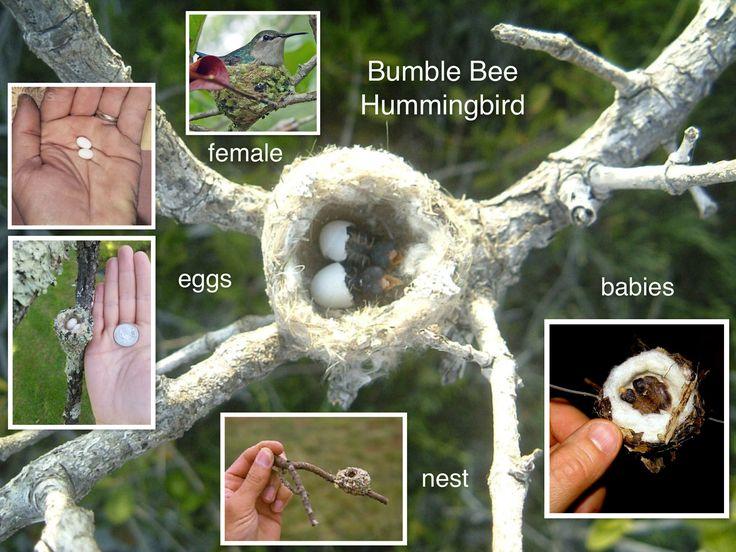 Bumble Bee Hummingbird Female, nest, eggs & babies. The