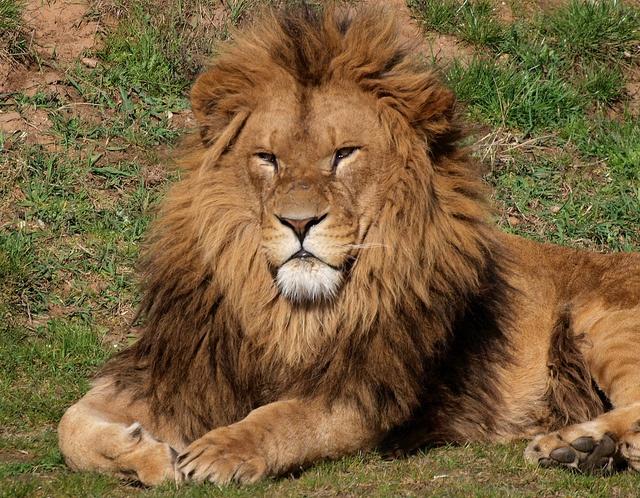 Lion by brianb60, via Flickr: Lion, Photo