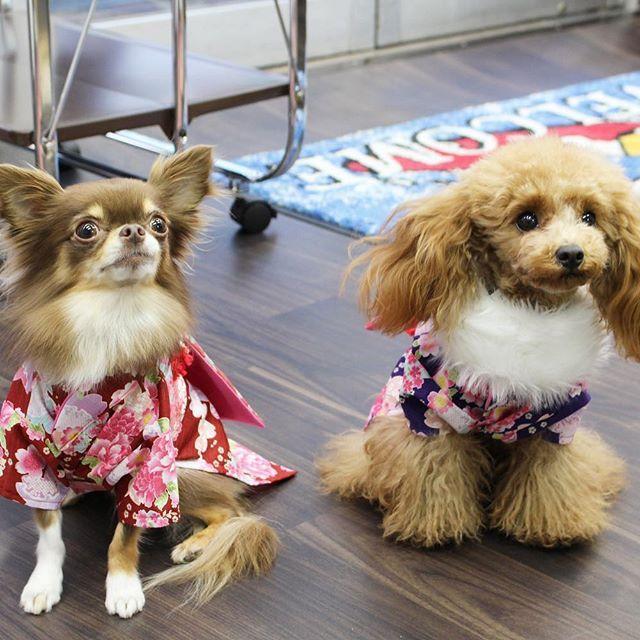 ♥ミニたん&クレア♥ お揃いの着物だよん😍 LOνЁ ゜・*:.。. ♡loυё♡.。.:*・゜¨̮⑅*♡ #ティーカッププードル#トイプードル#プードル#犬 #dog #ワンコ #愛犬 #ワンコなしでは生きていけません#犬バカ#犬バカ部#teacuppoodle #toypoodle #poodle #ふわもこ部#親バカ#わんわん#doglove#doglover#cutepoodle#lovepoodle#子犬#いぬ#イヌ#チワワ#仲良し#着物