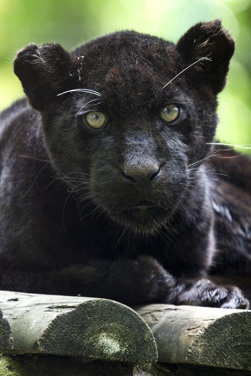 Pin Black Panther Cub Image Only on Pinterest - photo#6