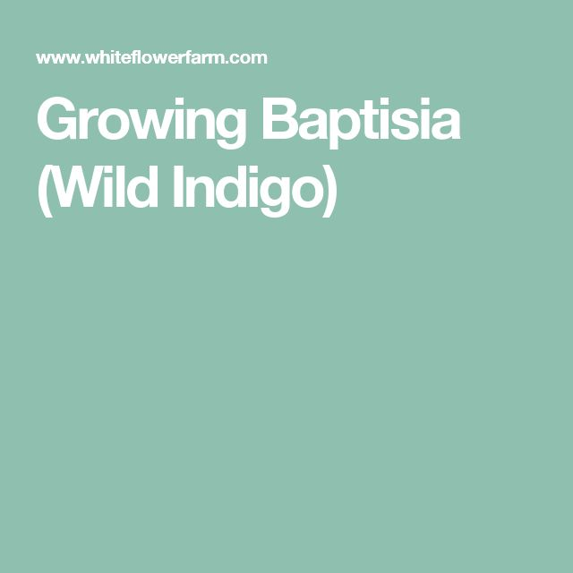 Growing Baptisia (Wild Indigo)